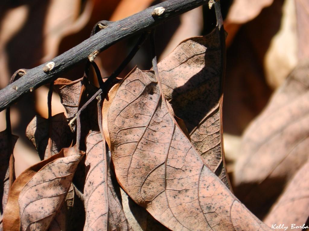 Folhas secas