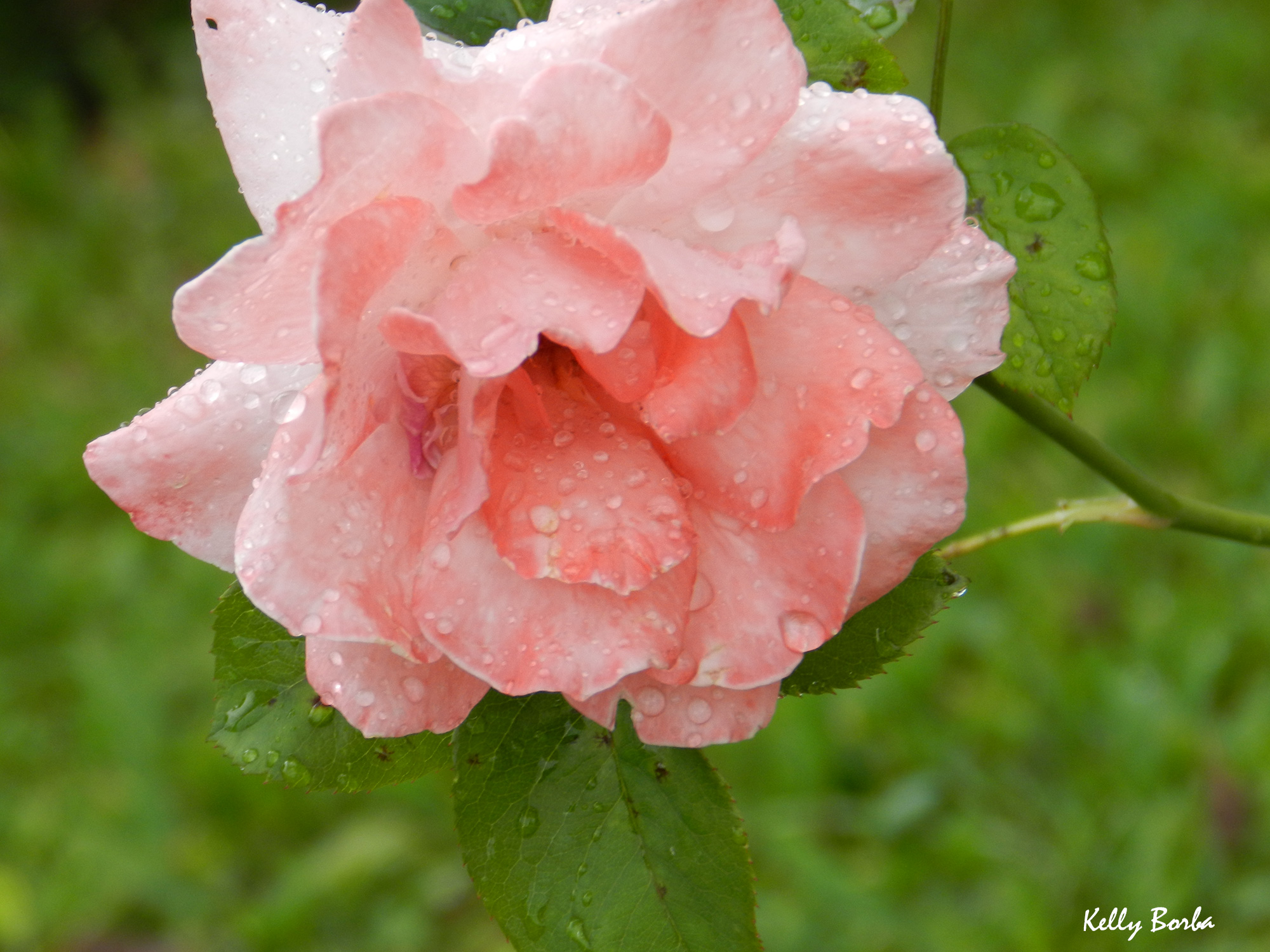 Rosa – Faxinal dos Guedes