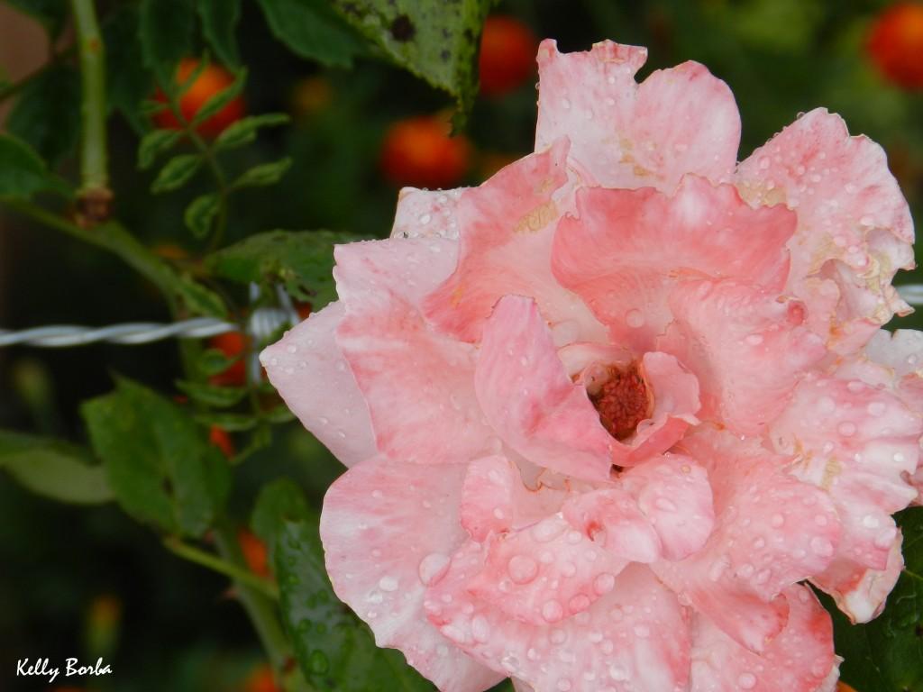 Rosa com gotas de chuva
