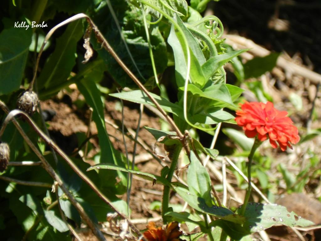 Flor laranja-ferrugem 2